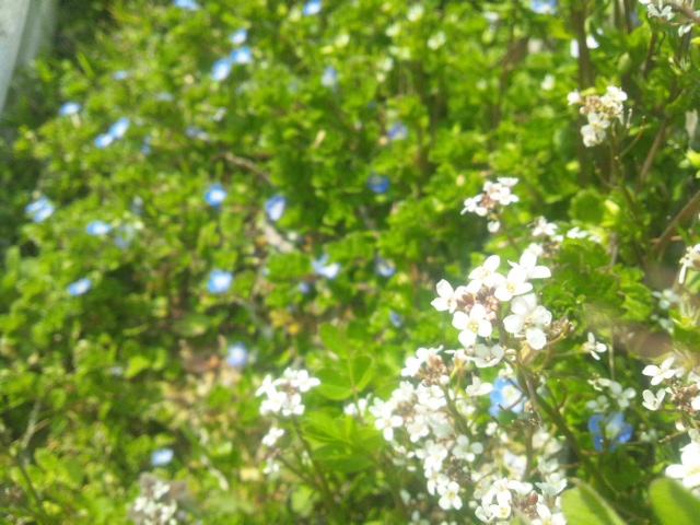 菜の花_a0138985_2263528.jpg