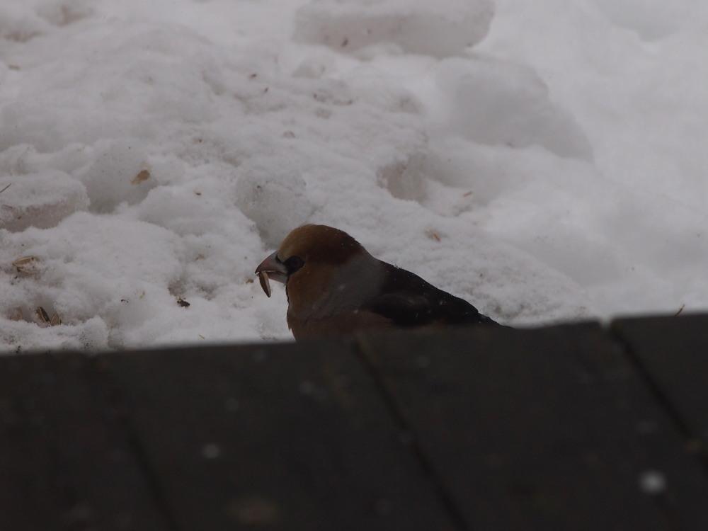 時折雪のちらつくカフェの外は・・エゾリス君や野鳥さんでにぎやかです。_f0276498_11050535.jpg