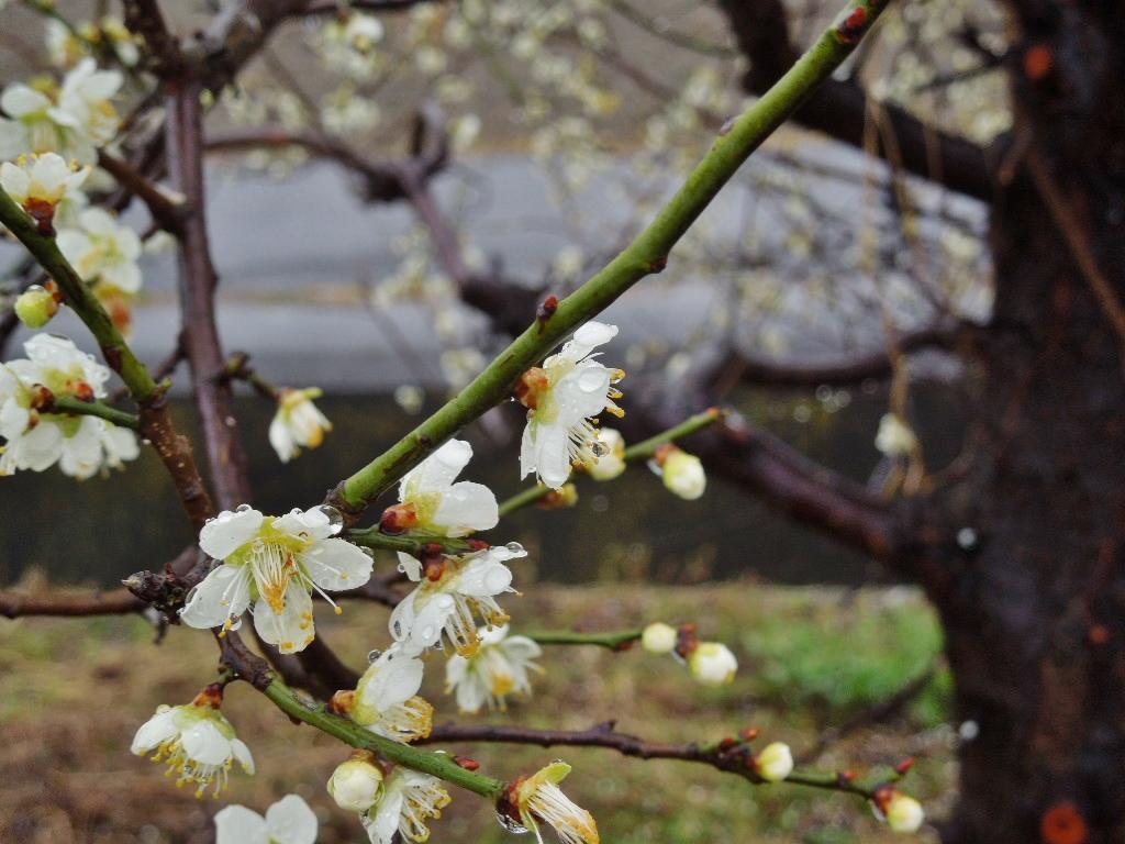 「春雨(しゅんう)」_a0120513_1637538.jpg