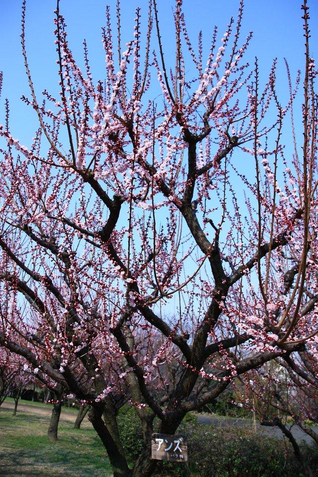 杏(アンズ)鶴見緑地_f0209122_18521052.jpg