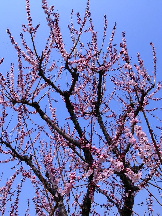 杏(アンズ)鶴見緑地_f0209122_18532868.jpg