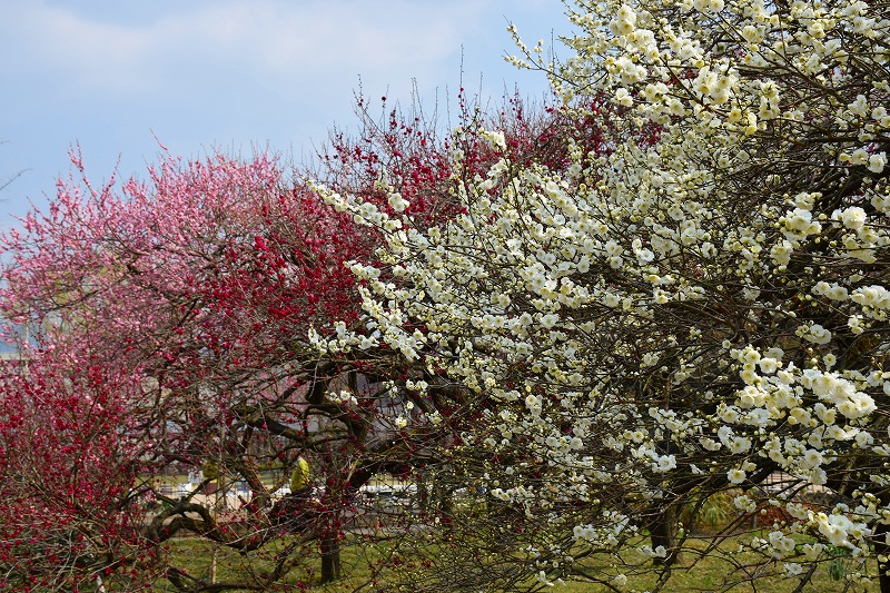 『京都植物園』は春の息吹が。見事な春の花が20140318_e0237645_1341678.jpg