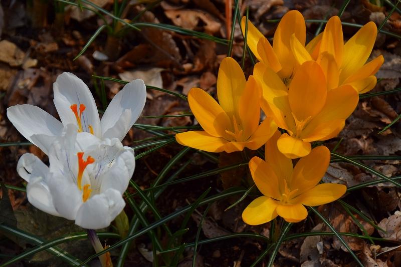 『京都植物園』は春の息吹が。見事な春の花が20140318_e0237645_136135.jpg