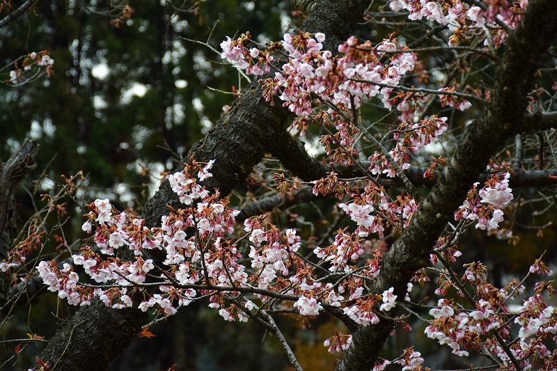 『京都植物園』は春の息吹が。見事な春の花が20140318_e0237645_1375513.jpg