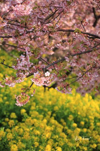 松田山の河津桜_e0158653_013462.jpg