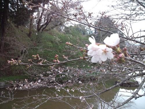 開花宣言_f0040201_23442250.jpg