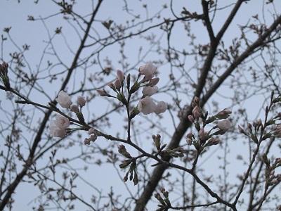 熊本城の桜_b0228113_12105925.jpg