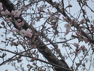 熊本城の桜_b0228113_12112081.jpg