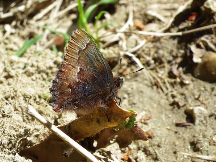 コツバメ 3月22日の北山湿地_d0254540_16212781.jpg