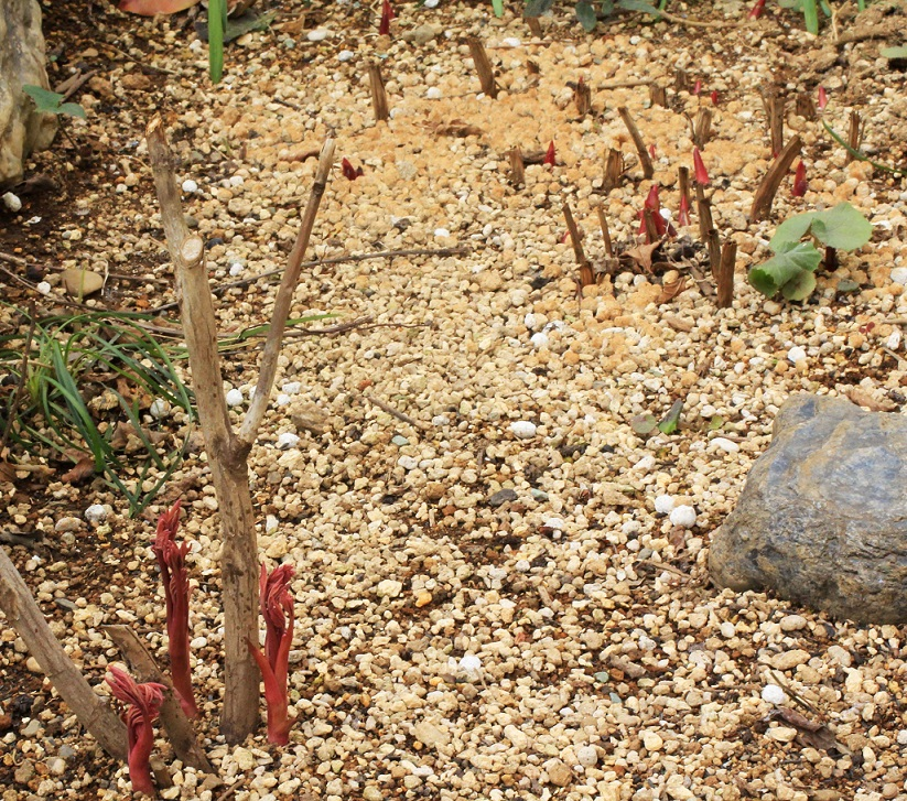 牡丹餅(ぼたもち)   ~赤芽が出て来た牡丹~_a0107574_18583247.jpg