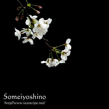 桜紀行_d0227799_1616347.jpg