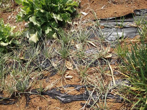 越冬中に野菜が増殖....わけぎ&らっきょう_b0137932_13262712.jpg