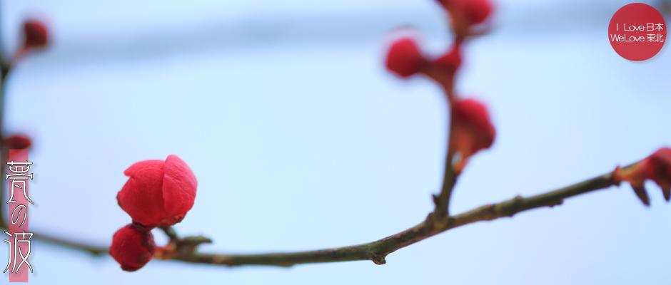 富山市「馬場記念公園」の南日梅林(蕾の紅梅3/16)_b0157849_20194648.jpg