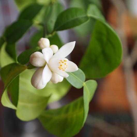 ユズのお花が咲きました_a0292194_12192626.jpg