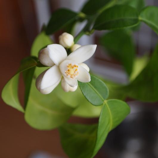 ユズのお花が咲きました_a0292194_12194598.jpg
