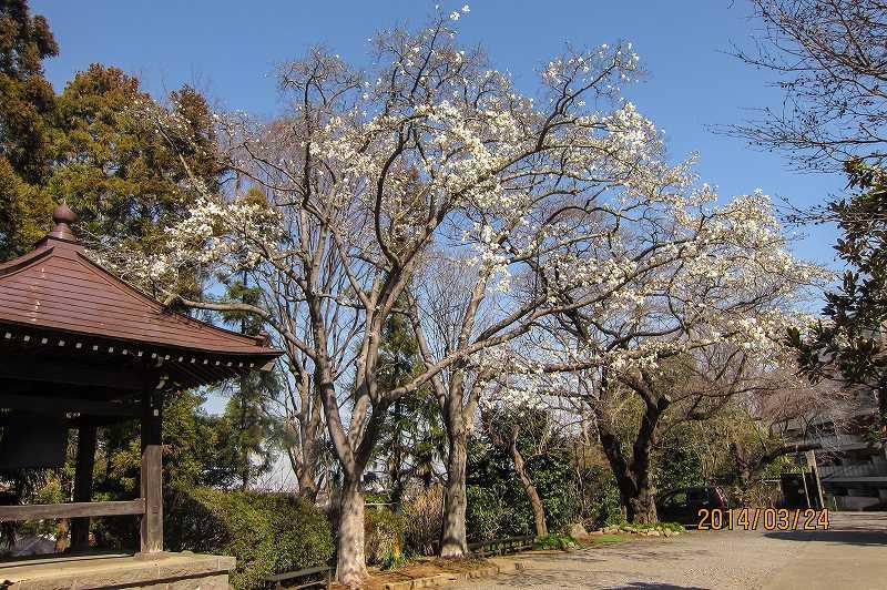 広福寺の辛夷_f0044056_16232068.jpg