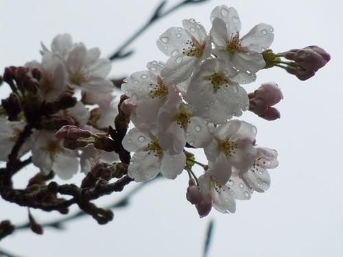 サクラが開花_c0177995_18203617.jpg