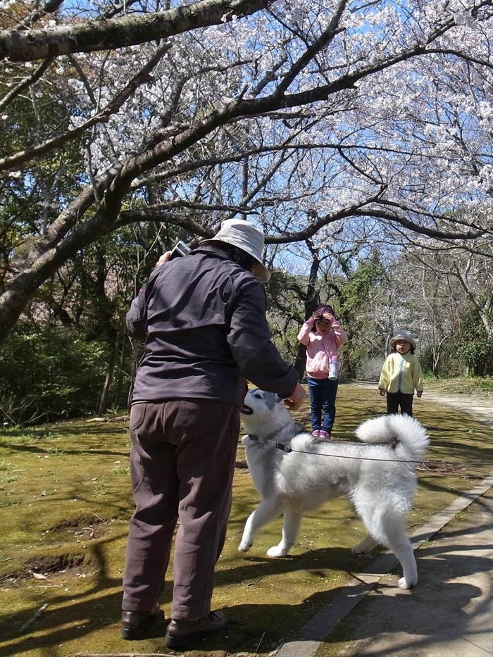 静かなる桜まつり♪_c0049299_2256334.jpg