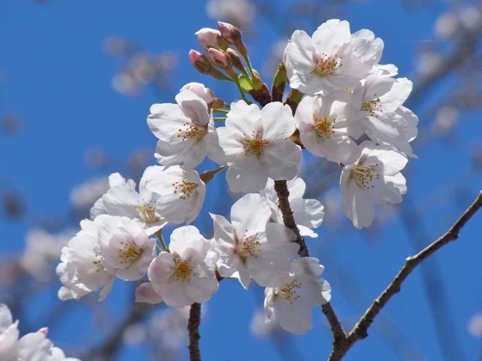 静かなる桜まつり♪_c0049299_2301792.jpg