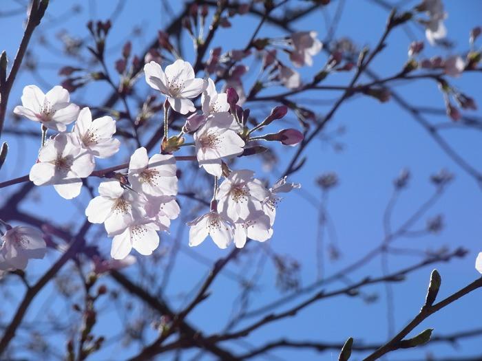 静かなる桜まつり♪_c0049299_230679.jpg