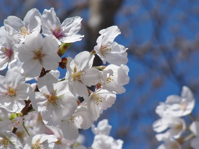 静かなる桜まつり♪_c0049299_2324753.jpg