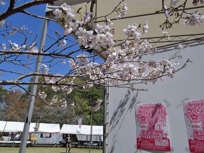 静かなる桜まつり♪_c0049299_2361910.jpg