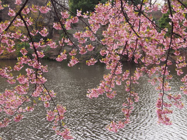 水辺の桜_a0257652_17241393.jpg