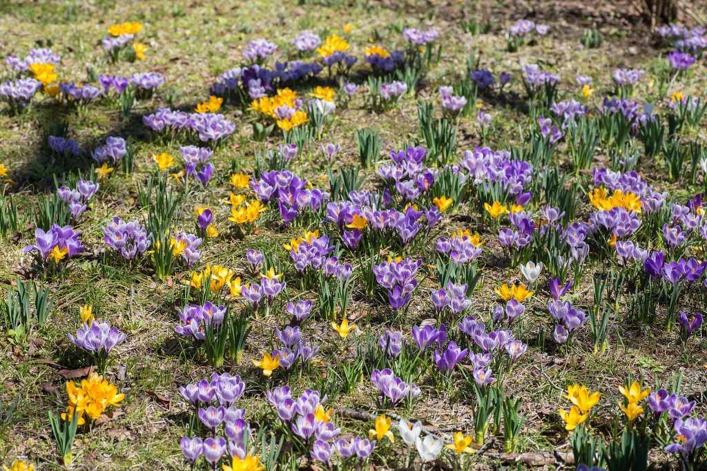 一面に咲いてたクロッカス_f0044056_07065987.jpg