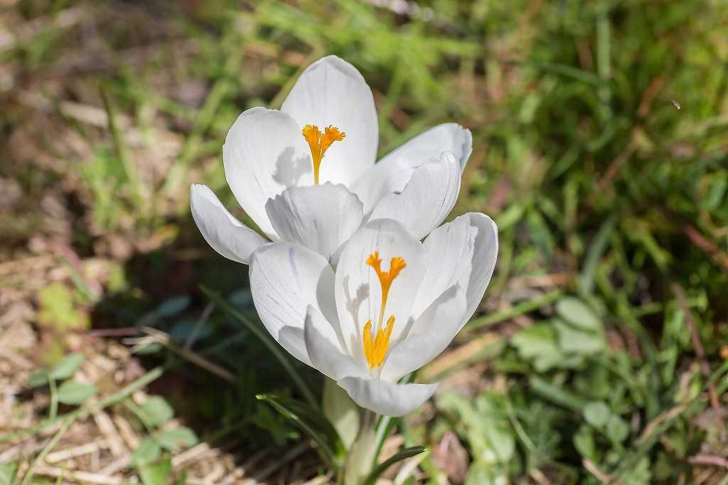 一面に咲いてたクロッカス_f0044056_07090882.jpg