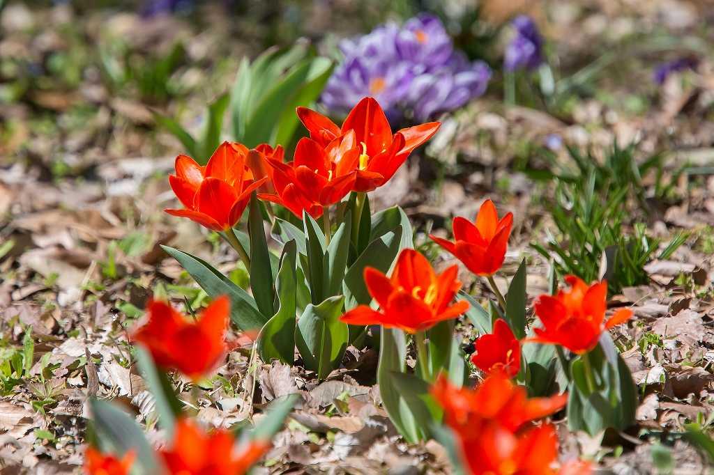一面に咲いてたクロッカス_f0044056_07145014.jpg