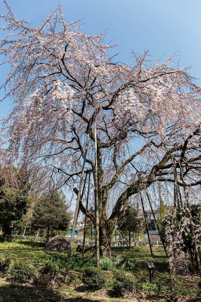 東郷寺の枝垂れ桜_f0044056_20502662.jpg