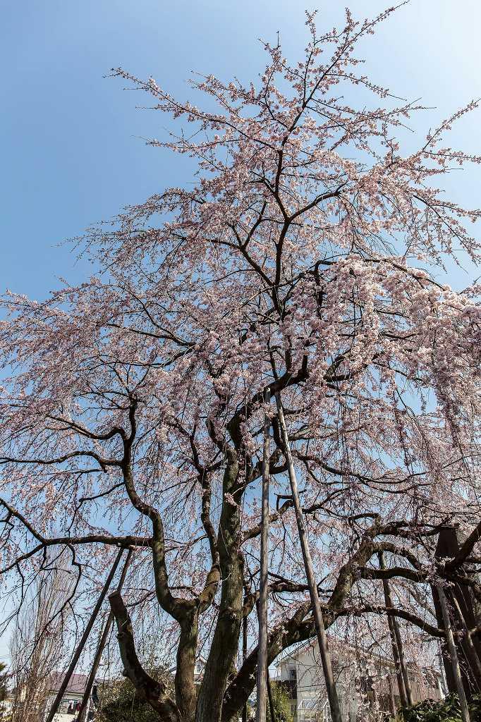 東郷寺の枝垂れ桜_f0044056_20505580.jpg
