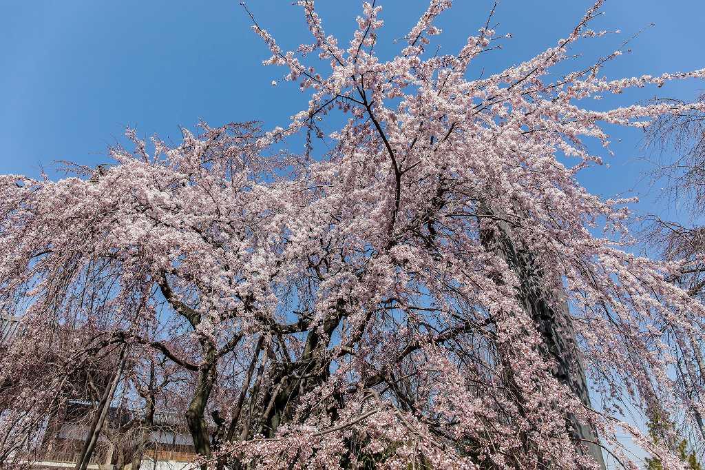 東郷寺の枝垂れ桜_f0044056_20514782.jpg