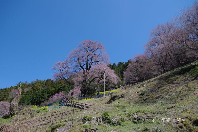 高知県・仁淀川・天空のひょうたん桜_a0157263_20035268.jpg