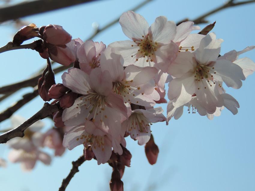 桜、花桃、山茱萸など_c0187781_17545223.jpg