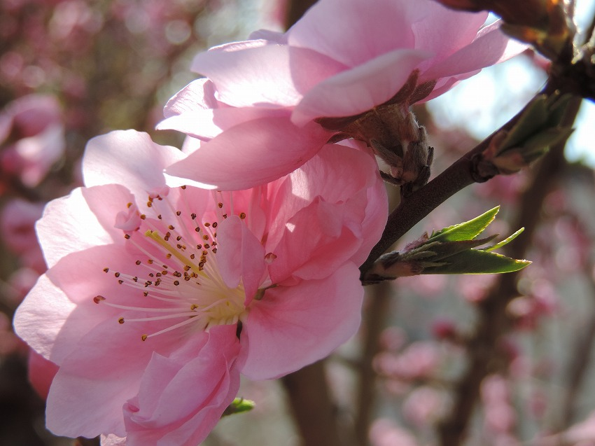 桜、花桃、山茱萸など_c0187781_17592055.jpg