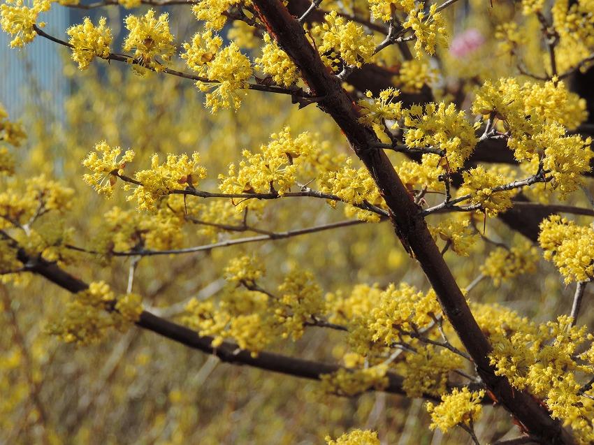 桜、花桃、山茱萸など_c0187781_18002960.jpg