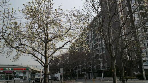 コブシが咲きました。_f0052181_2111494.jpg