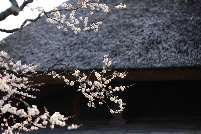 水前寺成趣園で梅を愉しむ_e0135098_21361231.jpg