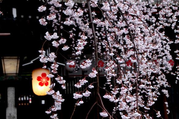 14桜始まる2  平野神社_e0048413_213495.jpg