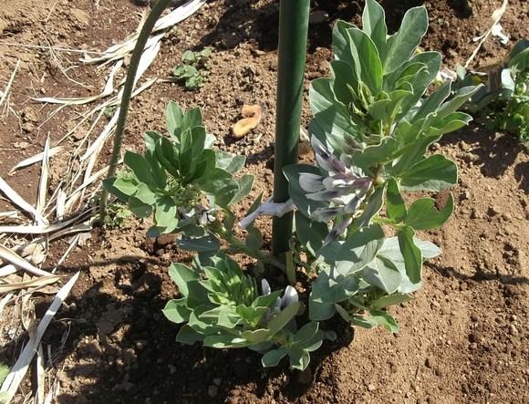 エンドウ豆ももうすぐ開花宣言です。_b0137932_14455586.jpg