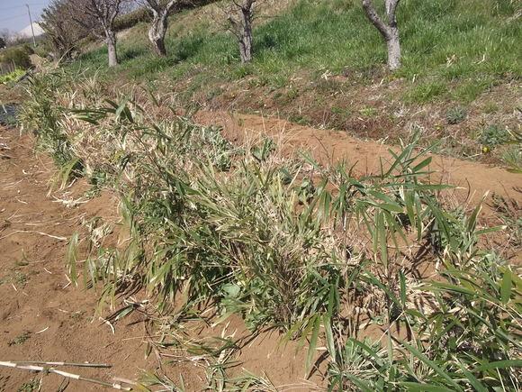 エンドウ豆ももうすぐ開花宣言です。_b0137932_14472986.jpg