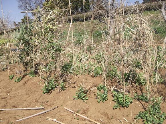 エンドウ豆ももうすぐ開花宣言です。_b0137932_14475324.jpg