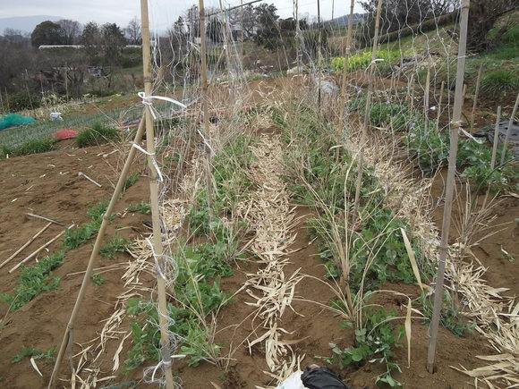 エンドウ豆ももうすぐ開花宣言です。_b0137932_14483019.jpg