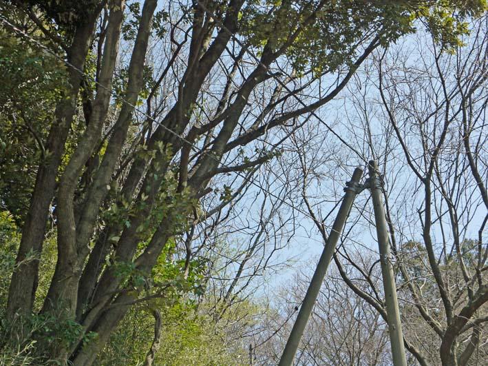高野2号緑地の樹木と電柱・電線の危険な関係解消3・25_c0014967_162427100.jpg