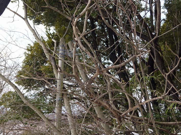 高野2号緑地の樹木と電柱・電線の危険な関係解消3・25_c0014967_16282996.jpg