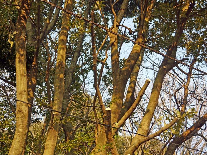 高野2号緑地の樹木と電柱・電線の危険な関係解消3・25_c0014967_16292997.jpg