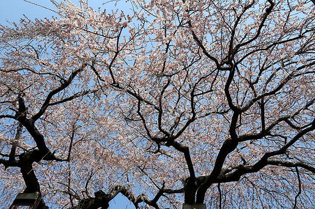 しだれ桜_b0186680_13365934.jpg