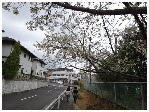 このところの暖かさで、桜の開花も一気に進みそうです_b0175688_22164112.jpg