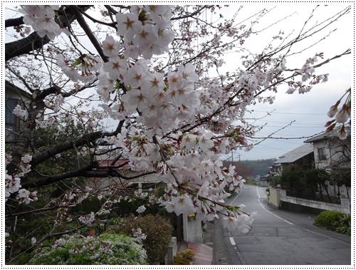 このところの暖かさで、桜の開花も一気に進みそうです_b0175688_22192583.jpg